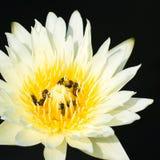 Amarillo de Lotus Imagenes de archivo