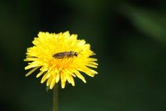 Amarillo de oro del diente de león de Bing Fragrant imágenes de archivo libres de regalías