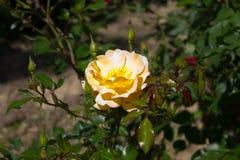 Amarillo de Rose Fotos de archivo libres de regalías