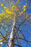 Amarillo del árbol del otoño foto de archivo