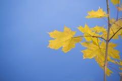 Amarillo del arce en un fondo azul Fotografía de archivo