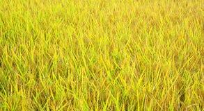 Amarillo del cambio del campo del arroz Fotografía de archivo