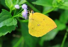 Amarillo del color de la mariposa Imágenes de archivo libres de regalías