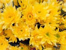 Amarillo del crisantemo Foto de archivo