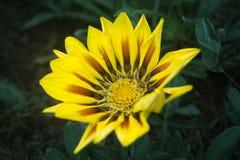 Amarillo del crisantemo - escoja - fondos verdes Imagen de archivo libre de regalías