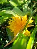 Amarillo del diente de león fotos de archivo