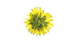 Amarillo del diente de león Imagen de archivo libre de regalías