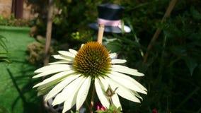 Amarillo del Echinacea almacen de video