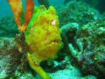 Amarillo del Frogfish Imagen de archivo