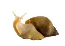Amarillo del fulica de Achatina del caracol Imagen de archivo libre de regalías