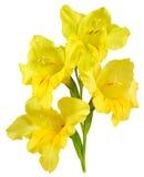 Amarillo 2 del gladiolo Imagen de archivo libre de regalías
