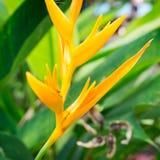 Amarillo del psittacorum de Heliconia fotos de archivo libres de regalías