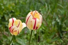 Amarillo del tulipán con las rayas rojas foto de archivo