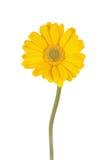 Amarillo diaisy con un vástago largo Imágenes de archivo libres de regalías