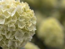 Amarillo esférico de la flor Imágenes de archivo libres de regalías