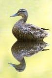 Amarillo femenino del pato silvestre Foto de archivo libre de regalías