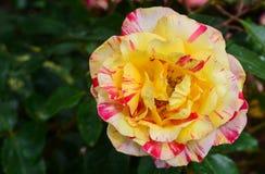 Amarillo - flores color de rosa rosáceas en primavera Fotos de archivo libres de regalías