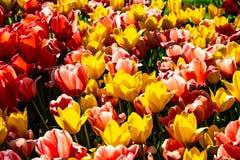 Amarillo hermoso, rosa y tulipanes rojos en tiempo soleado en Holanda imagen de archivo libre de regalías