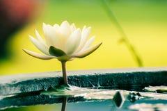 Amarillo hermoso waterlily o flor de loto en la charca Fotografía de archivo