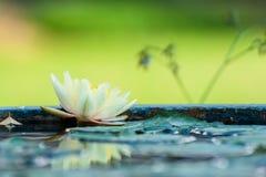 Amarillo hermoso waterlily o flor de loto en la charca Imagen de archivo
