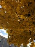 amarillo hojas Obraz Royalty Free