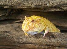 Amarillo lindo de la rana de cuernos de Argentina Imagenes de archivo