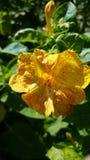 Amarillo mezclado Fotografía de archivo
