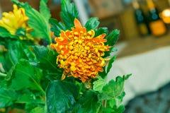 Amarillo-naranja del crisantemo atornillada Foto de archivo libre de regalías