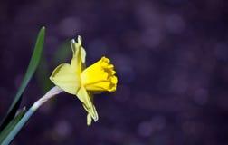 Amarillo Narcissus Flower Rain Drops del jardín de la primavera Fotos de archivo