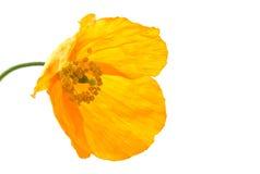 Amarillo o amapola galesa Imágenes de archivo libres de regalías