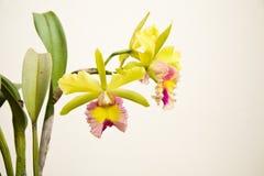 Amarillo - orquídea rosada, cattleya Fotografía de archivo libre de regalías