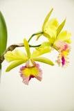 Amarillo - orquídea rosada, cattleya Foto de archivo
