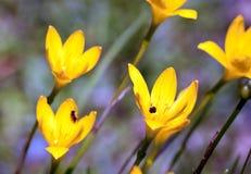 Amarillo rainlily Fotos de archivo