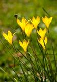 Amarillo rainlily Imágenes de archivo libres de regalías