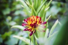 Amarillo rojo de Tagetes con las hojas verdes fotografía de archivo