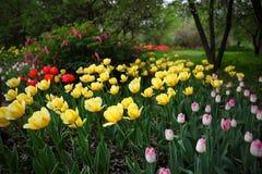 Amarillo, rosa y tulipanes rojos en un jardín fotos de archivo