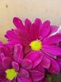 Amarillo rosado elegante Imágenes de archivo libres de regalías