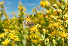 Amarillo vibrante de la mariposa Imagen de archivo libre de regalías