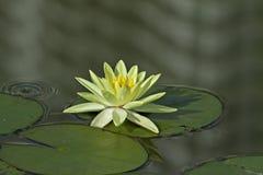 Amarillo waterlily Imágenes de archivo libres de regalías