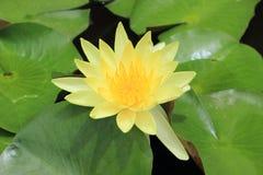 Amarillo waterlily Imagen de archivo libre de regalías