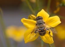 Amarillo y abeja Imagen de archivo