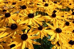 Amarillo y flores del chocolate Foto de archivo libre de regalías