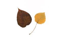 Amarillo y hojas rojo oscuro aislados Fotografía de archivo libre de regalías