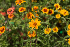 Amarillo y naranja florece el primer Fotografía de archivo libre de regalías