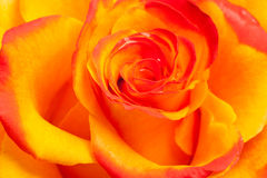 Amarillo y naranja se levantó Fotografía de archivo libre de regalías