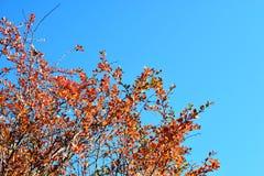 Amarillo y naranja se va en fondo del cielo azul del árbol Fotos de archivo