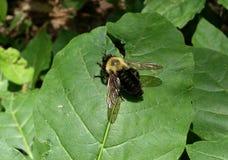 Amarillo y negro manosee la abeja en la hoja Foto de archivo