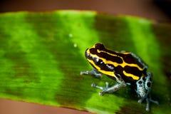 Amarillo y negro rayados de la rana del dardo del veneno Foto de archivo