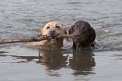Amarillo y perros perdigueros de Chcolate Labrador que nadan foto de archivo libre de regalías