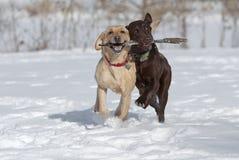 Amarillo y perros perdigueros de Choccolate Labrador imágenes de archivo libres de regalías